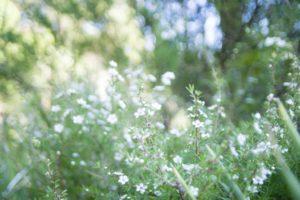 綺麗な白色をしたマヌカの花